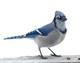 Portrait of Blue Jay