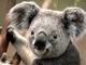 Portrait of Some Random Koala