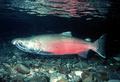 Portrait of salmon_del_oriente