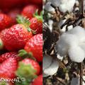 Portrait of Strawberry-Cotton