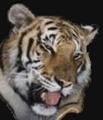 Portrait of tiger19511