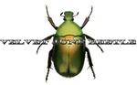 Portrait of Velvet June Beetle