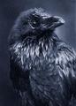 Portrait of The Raven