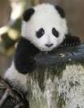 Portrait of PandaFace