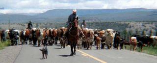 Portrait of Black Top Herd